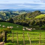 Grasende Schafe