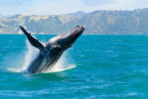 Aus dem Wasser springender Buckelwal
