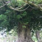 Riesiger Baum auf dem Gelände