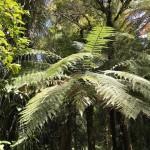 Riesenfarn im Waipoua Forest