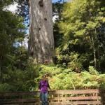6 Meter Durchmesser hat der Baum. Wegen der empfindlichen Wurzeln darf man nicht näher ran.
