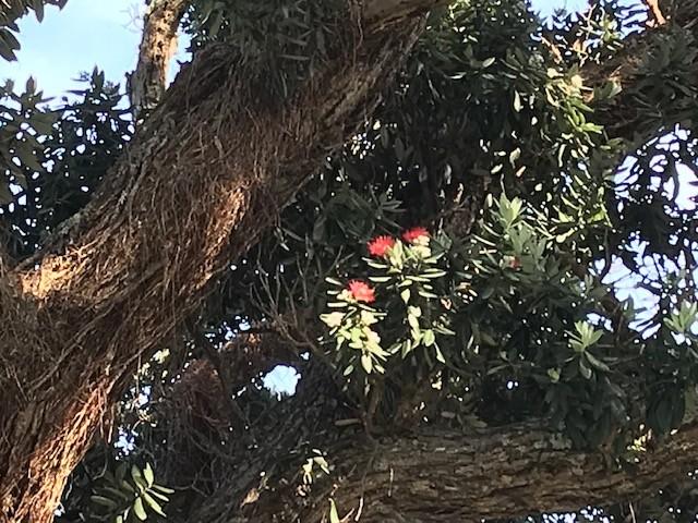 Die Pohutukawa-Bäume blühen jetzt. Einfach wunderschön!