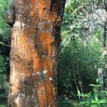 Die Rinde des Baumes leuchtet orange vor dem Grün des Waldes.