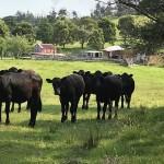 Die Rinder bestaunen mich.