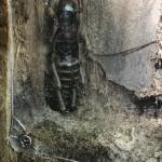 Riesiger Käfer. Die Viecher können handtellergroß werden, sind völlig harmlos und besetzen die ökologische Nische von Mäusen.