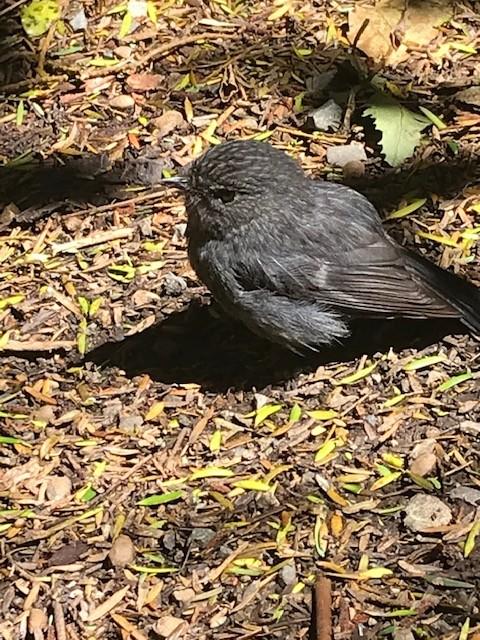 North Island Robin (Rotkehlchen)